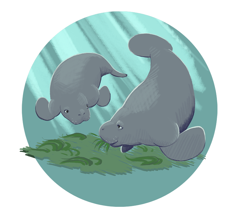 Manatee clipart dugong. What if i just