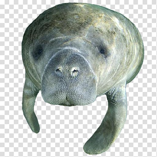 Viewing center crystal river. Manatee clipart marine mammal