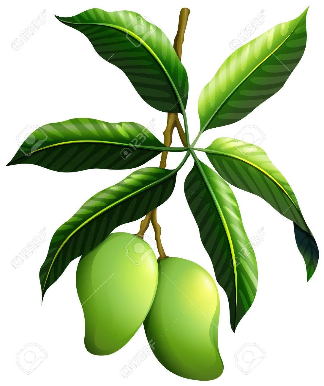 Mango clipart green mango. Station