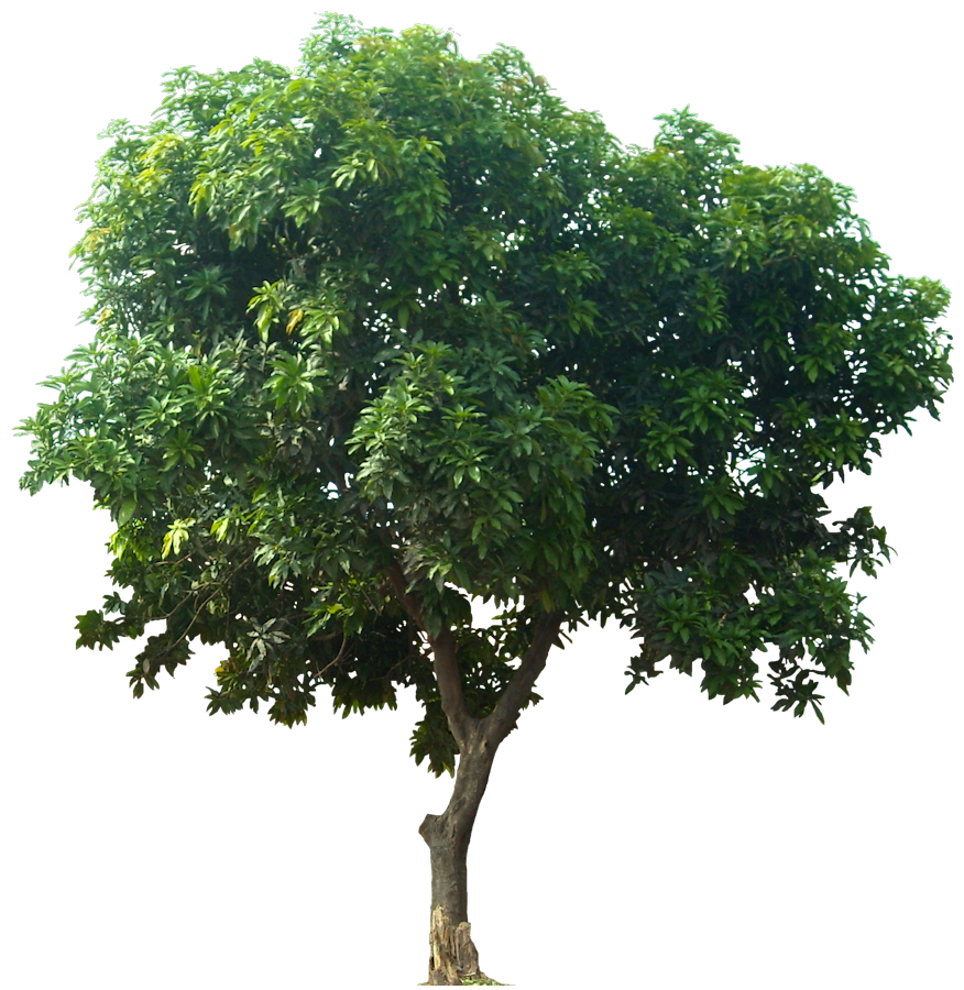 Tree png images free. Mango clipart pieces