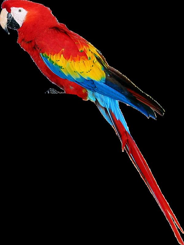 Parrot clipart beach. Perroquet animals pinterest