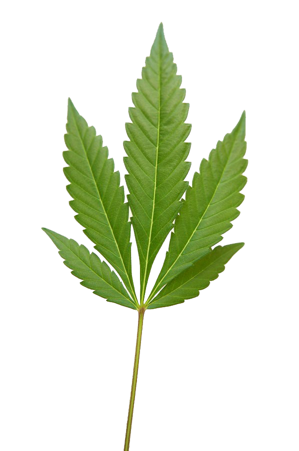 Weed png image . Marijuana clipart copyrighted
