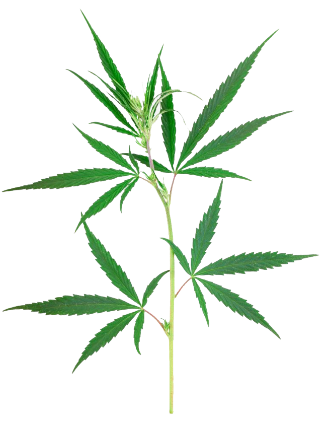 Marijuana clipart jpeg. Weed png free download