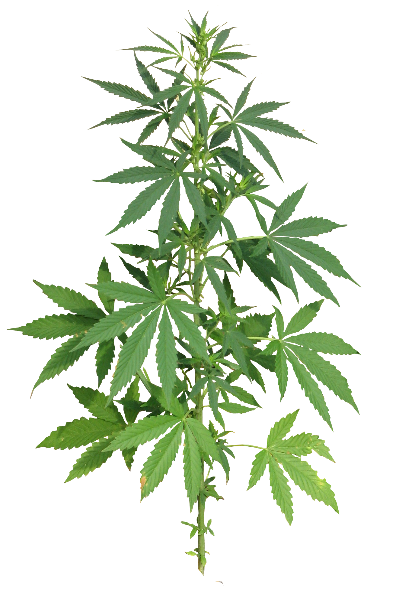 Cannabis flower clip art. Marijuana clipart svg