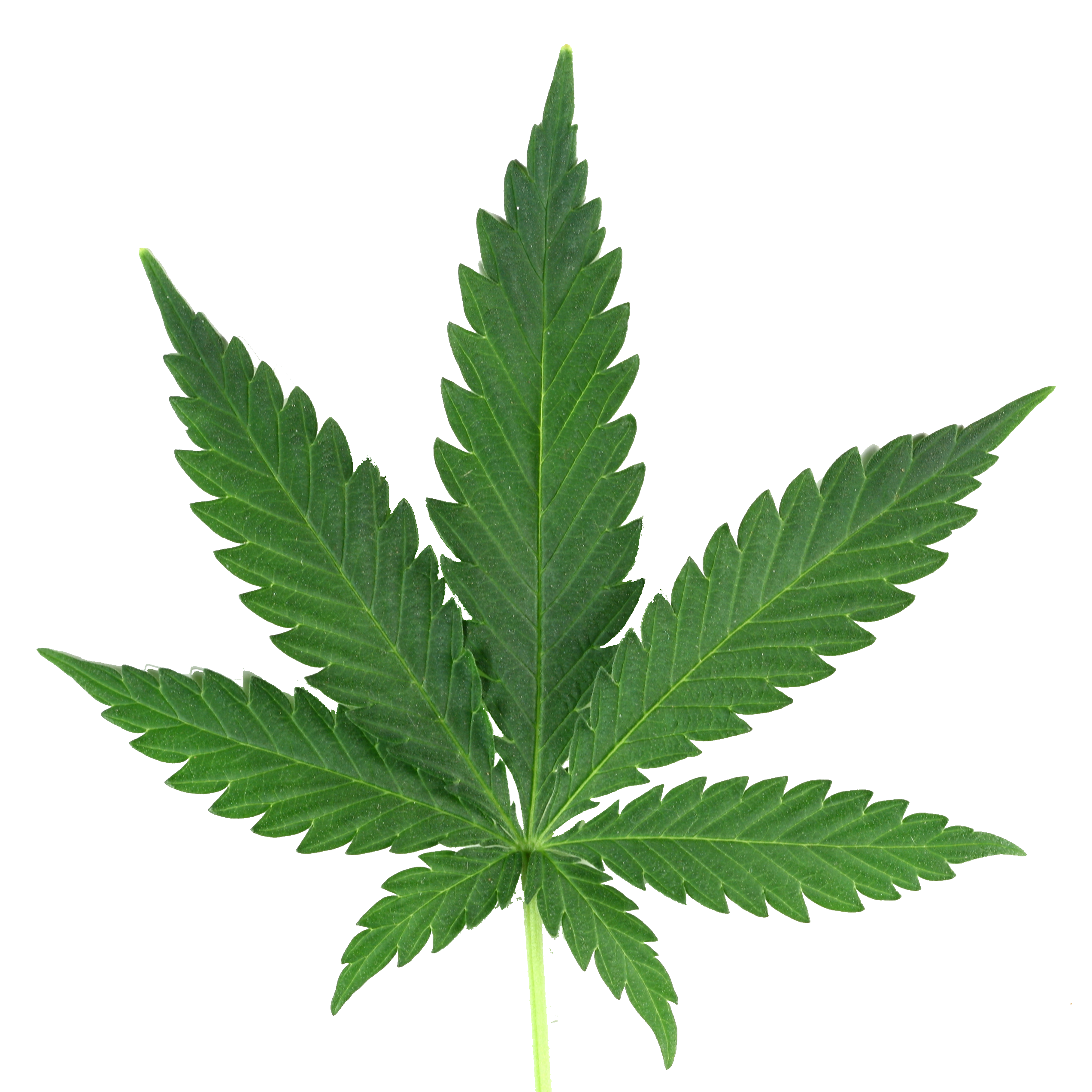 Marijuana clipart transparent. Leaf png real