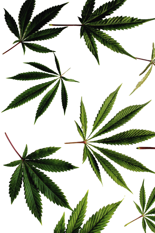 Think different use edible. Marijuana clipart tropical plant