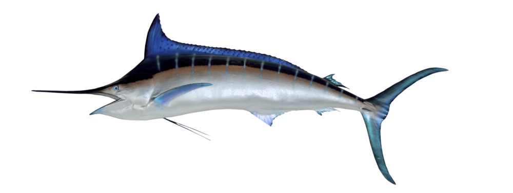 Tuna clipart mackerel fish. The catch deep blue