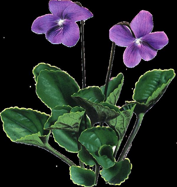 Fleurs flores flowers bloemen. Mayflower clipart colour flower