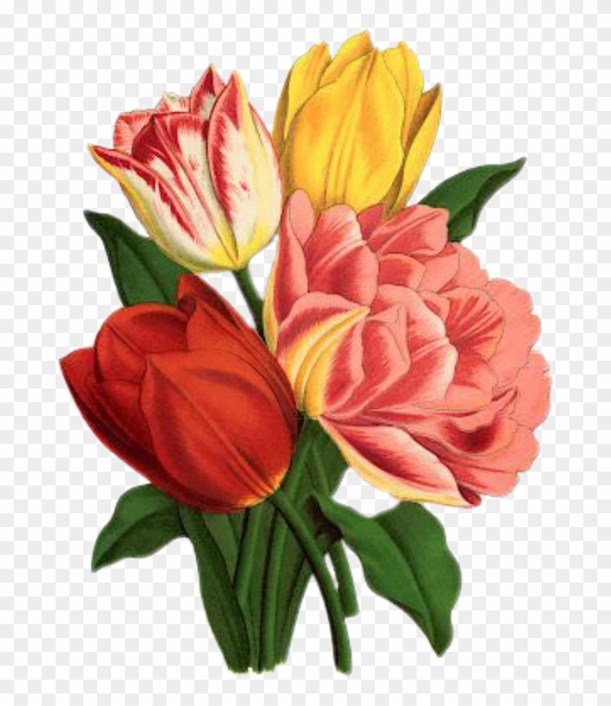 Flowers tulips art png. Mayflower clipart colour flower