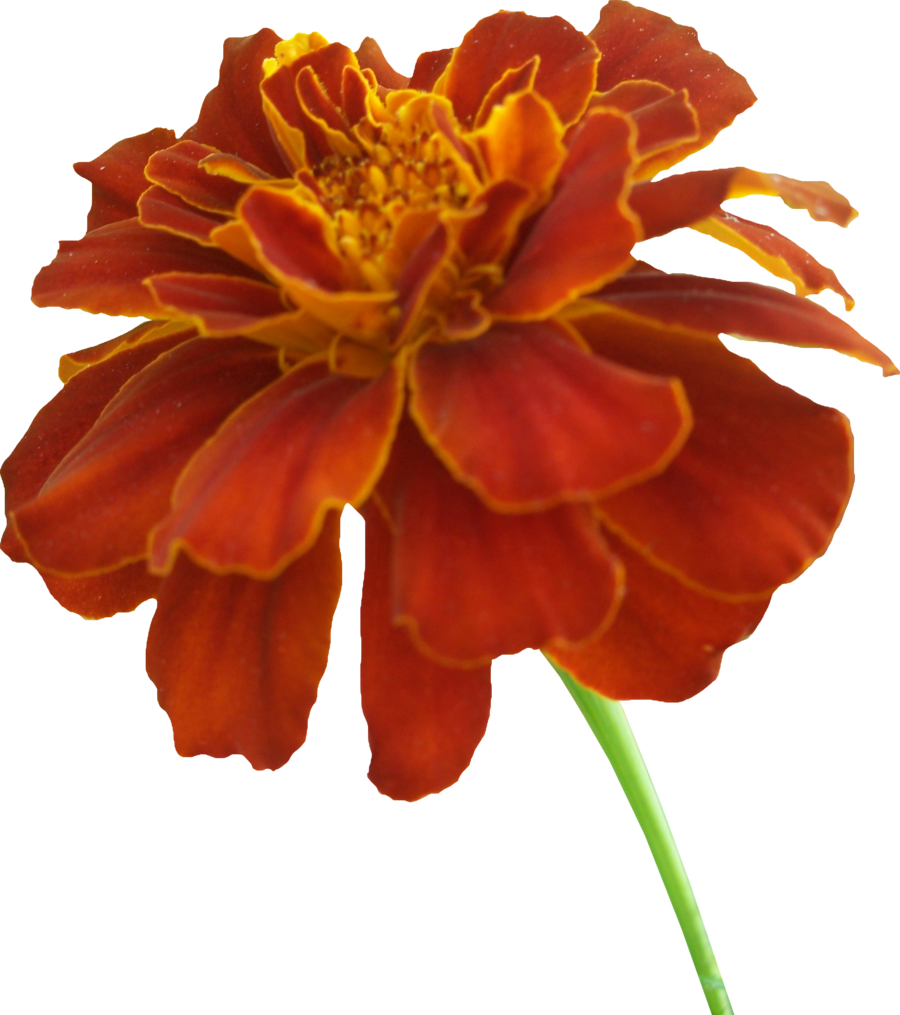 Mayflower clipart flowr. Free marigold cliparts download