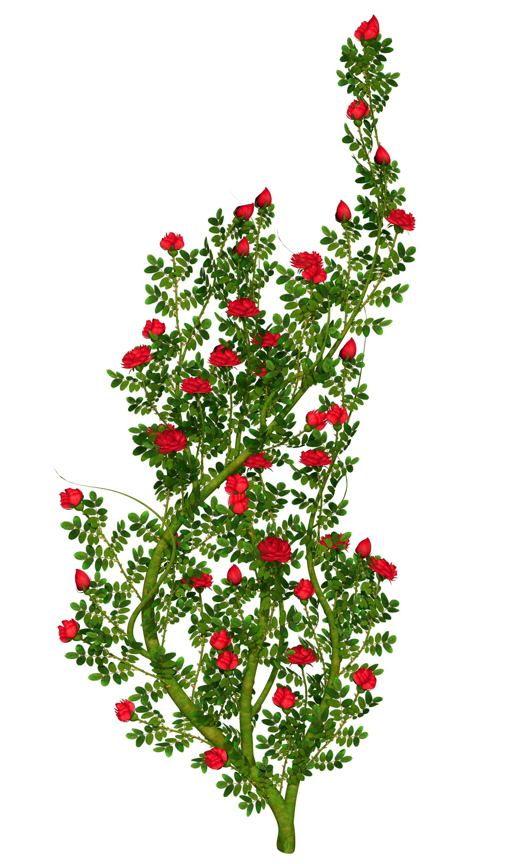 Rose clipart shrub. Szukaj w google grafika