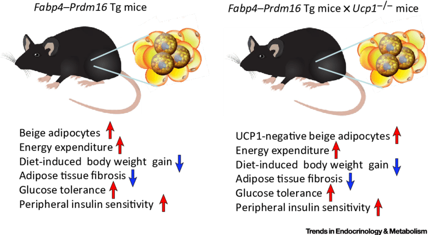 The anti obesity and. Weight clipart homeostasis