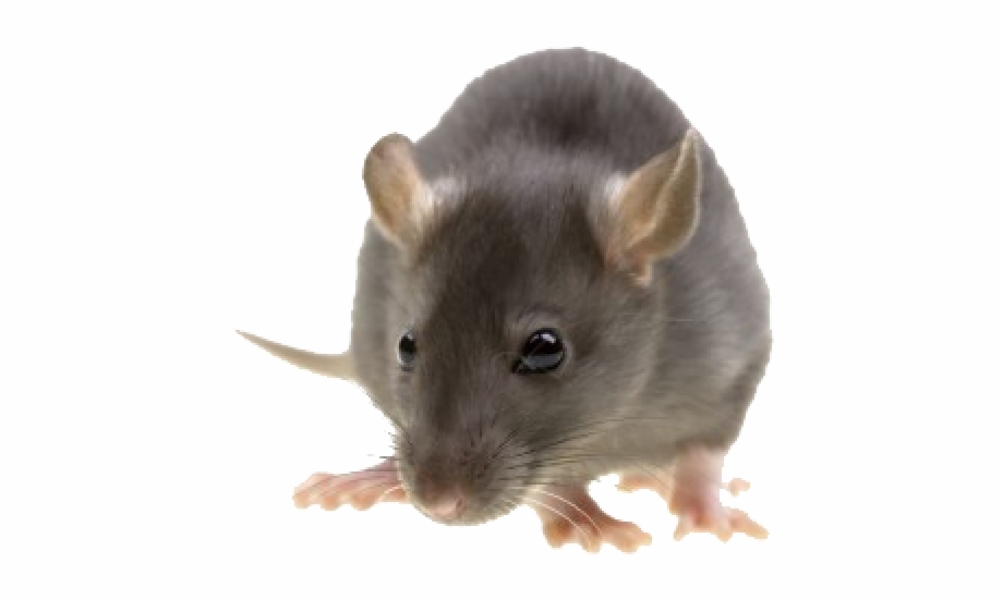 Mouse animal png clip. Mice clipart realistic