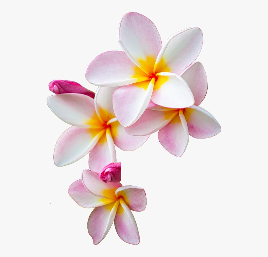 Moana clipart detailed flower. Png transparent cartoon free