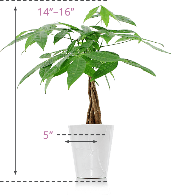 Money tree png. Plants just add ice