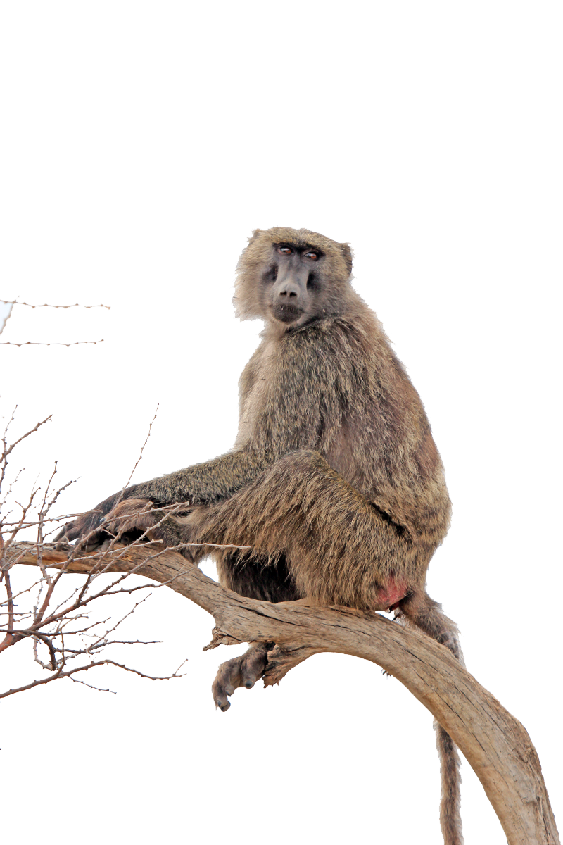 Monkey clipart baboon. Png transparent images all