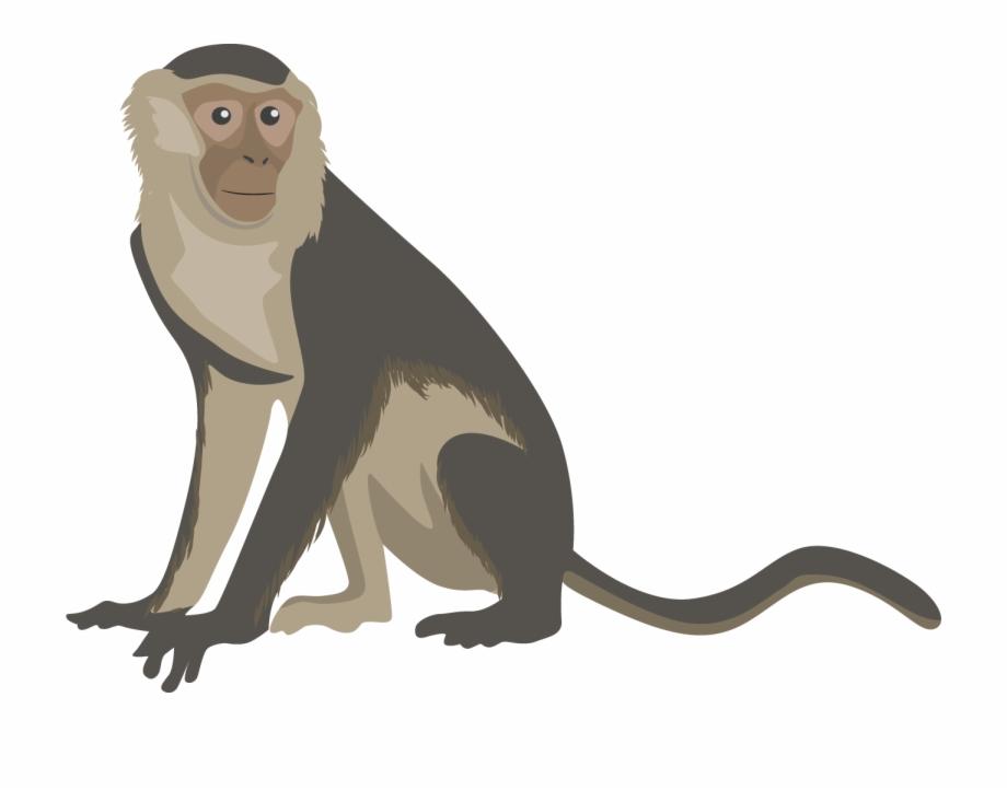 Png transparent free . Monkey clipart capuchin monkey