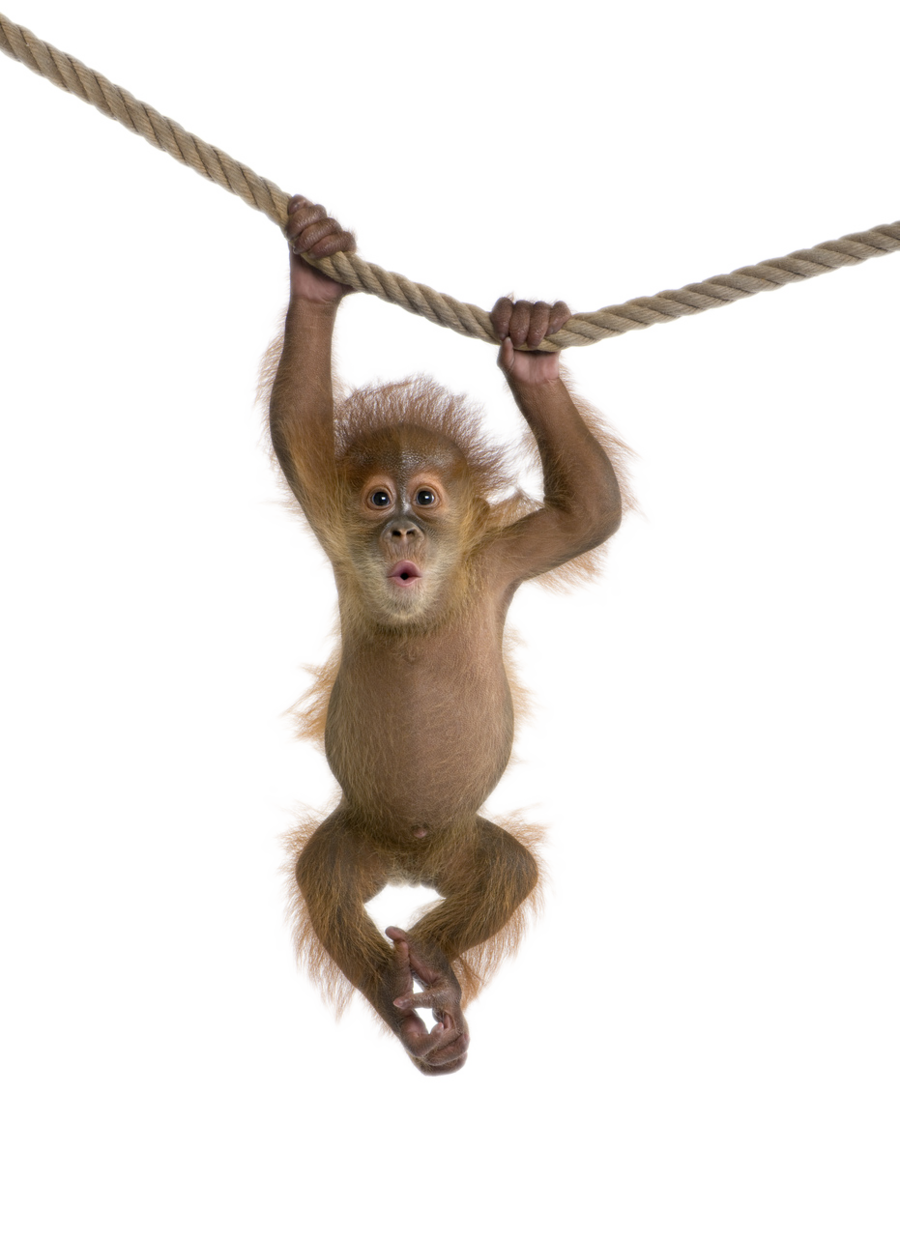 Png transparent images all. Monkey clipart capuchin monkey