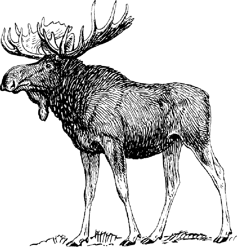 Moose clipart moose rack. Fantastic antler template motif