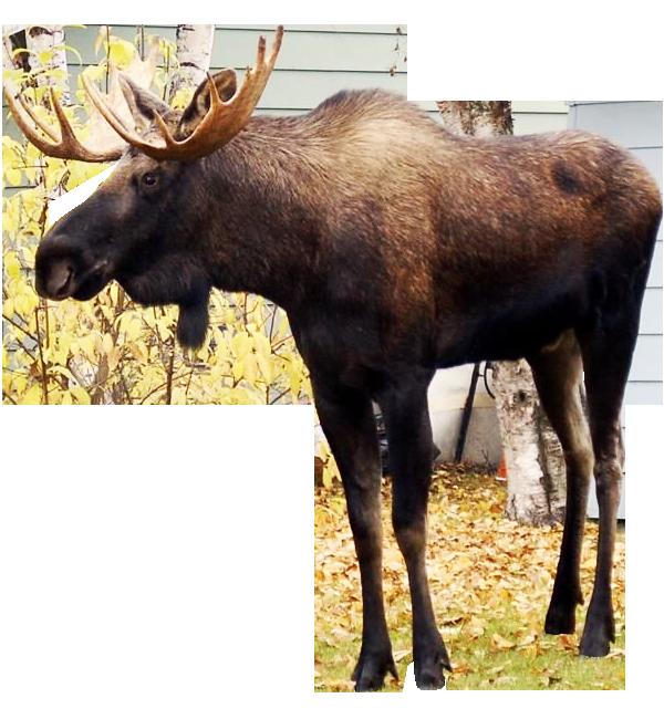Png pic mart. Moose clipart transparent background