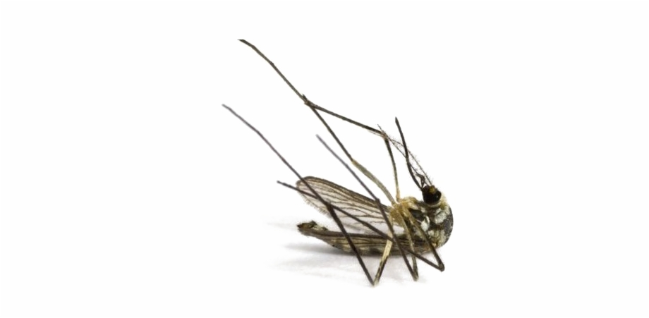 Png image transparent download. Mosquito clipart dead mosquito
