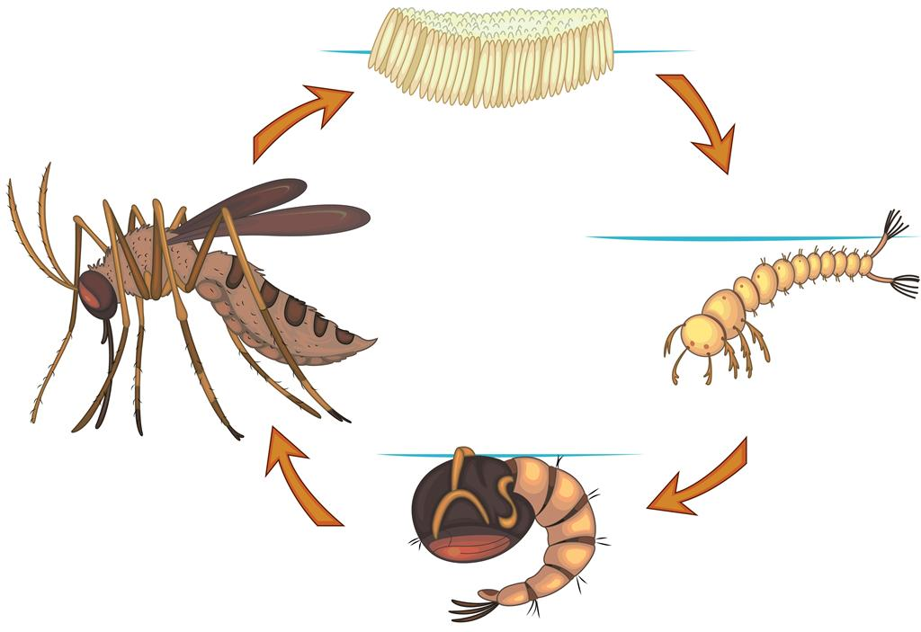Mosquito clipart female mosquito. Life cycle