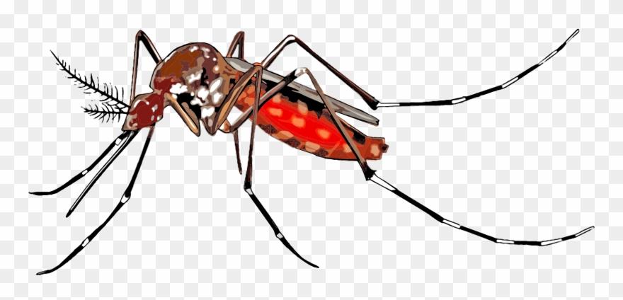Borne disease dengue fever. Mosquito clipart female mosquito