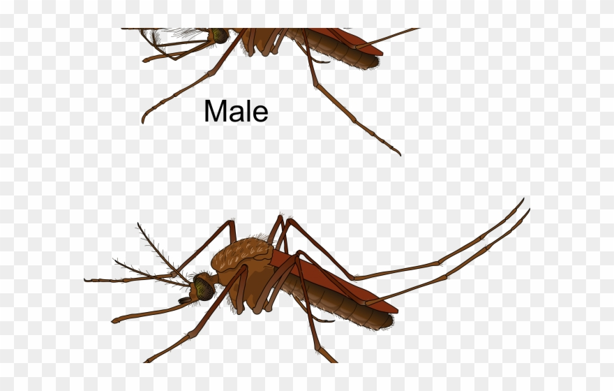 Mosquito clipart female mosquito. Dirty body difference male