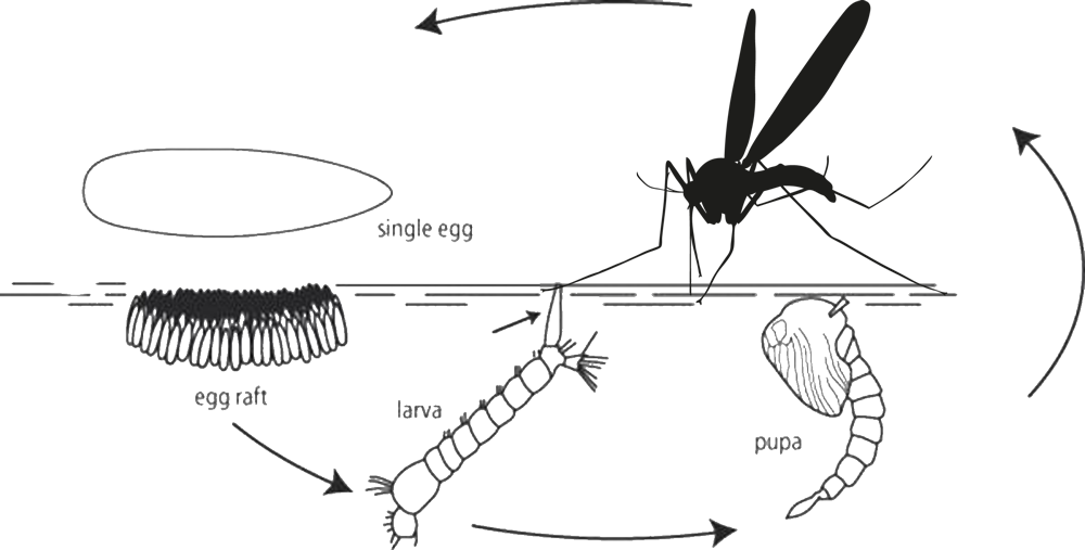 other images life. Mosquito clipart mozzie
