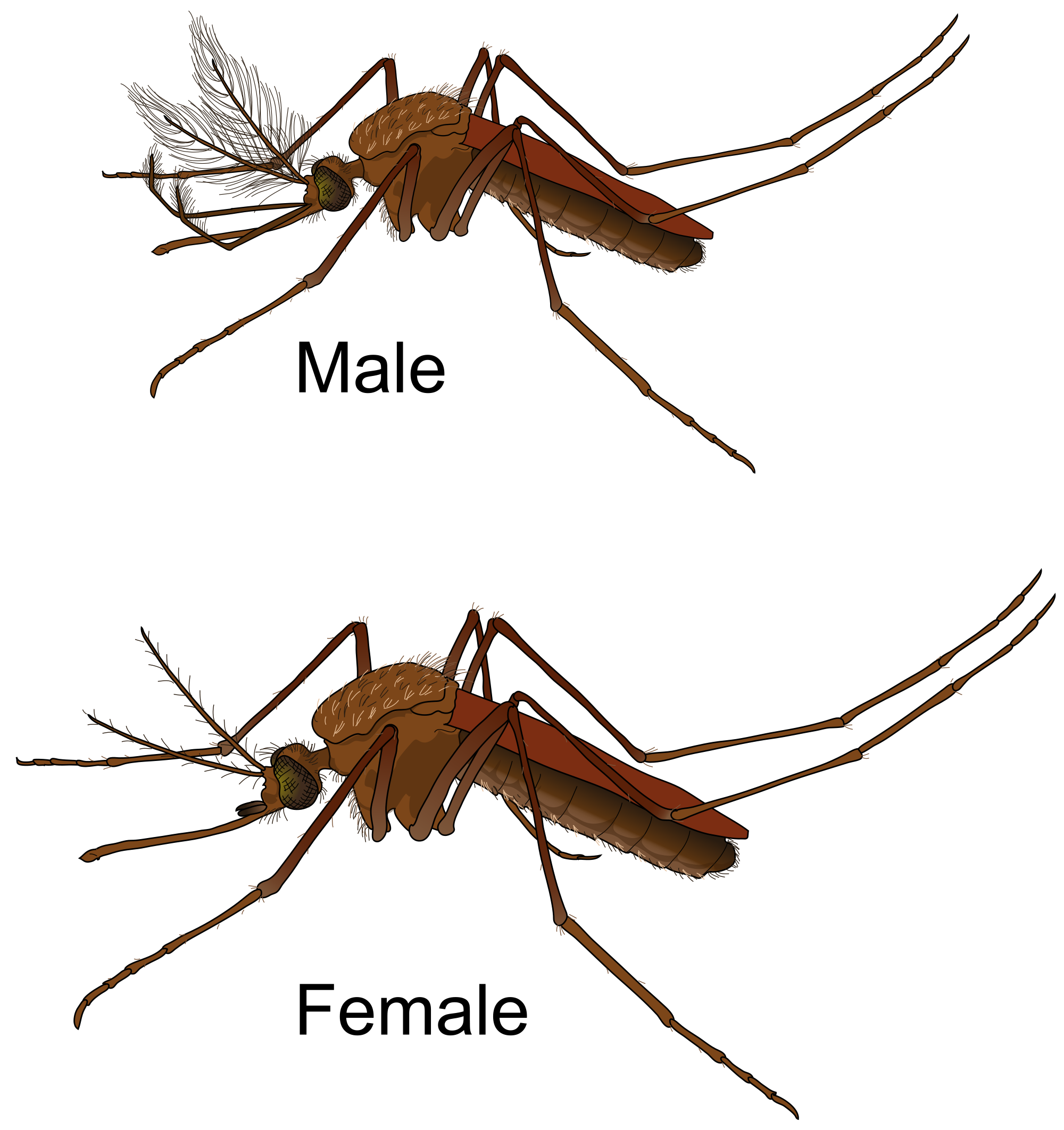 Males vs females we. Mosquito clipart outline