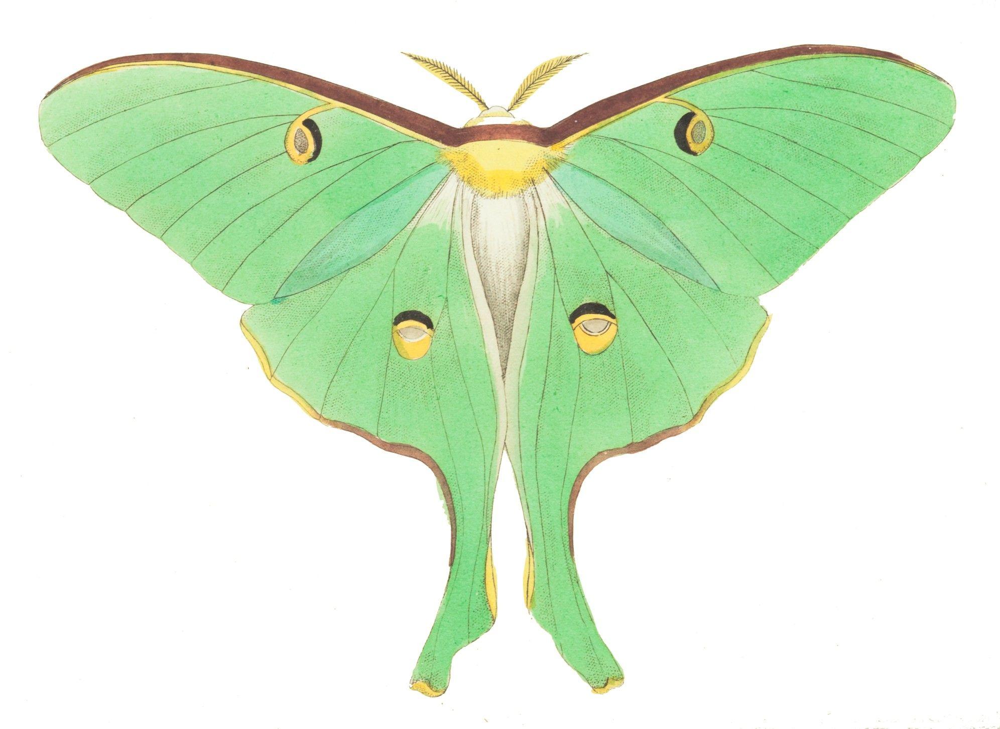 Luna public domain pinterest. Moth clipart
