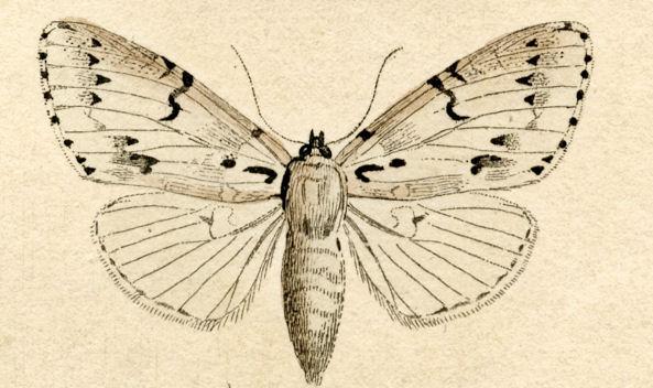 Moth clipart. Free antique clip art
