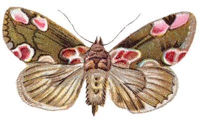 Moth clipart.  best moths images