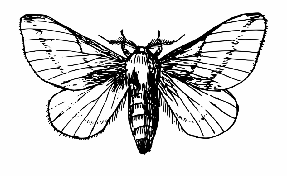 Maple transparent png . Moth clipart black and white