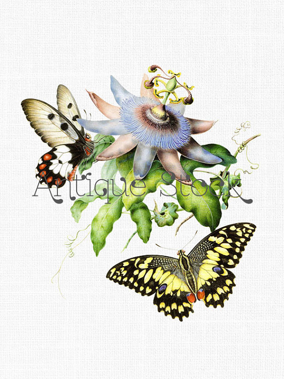 Printable passionfruit flower w. Moth clipart botanical illustration