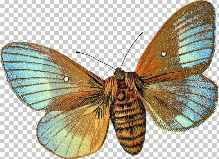 Moth clipart botanical illustration. Butterfly drawing png