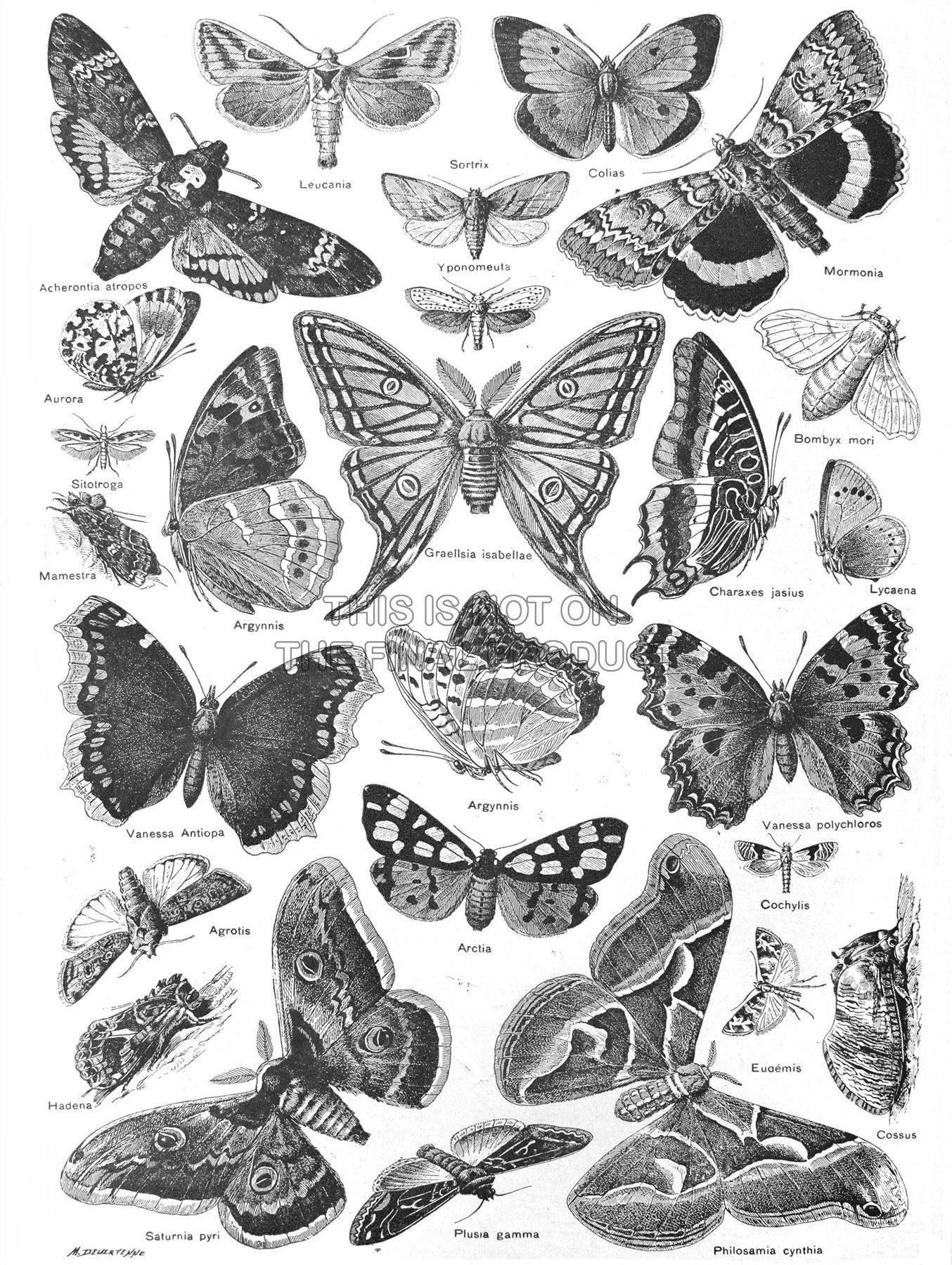Moth clipart botanical illustration. Scientific butterfly black white