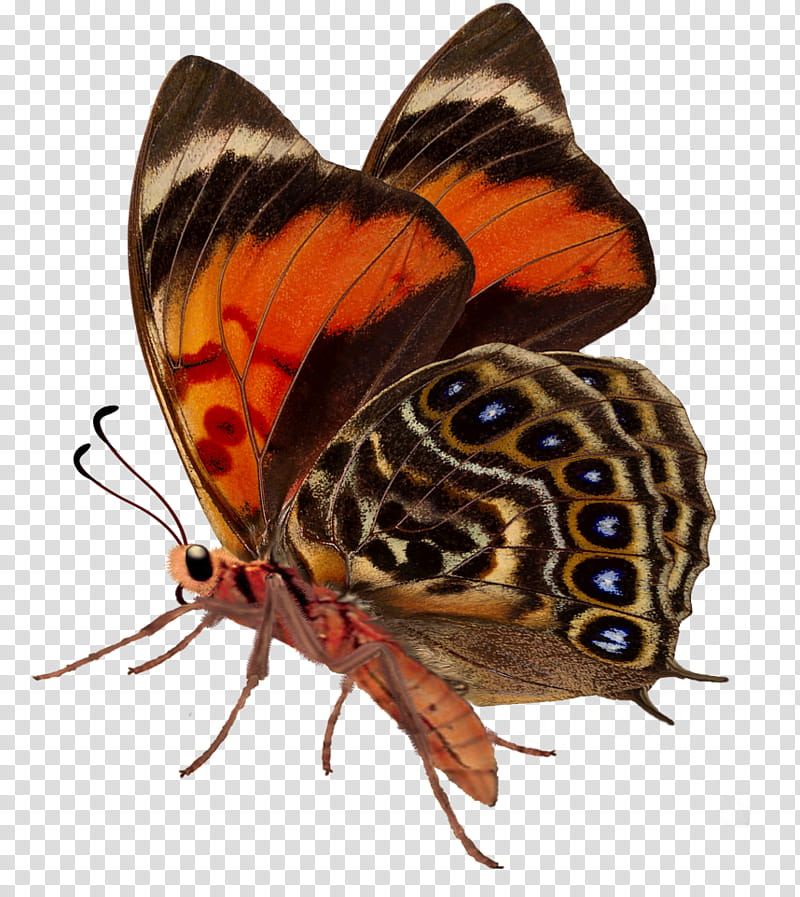 Butterflies red and orange. Moth clipart brown butterfly