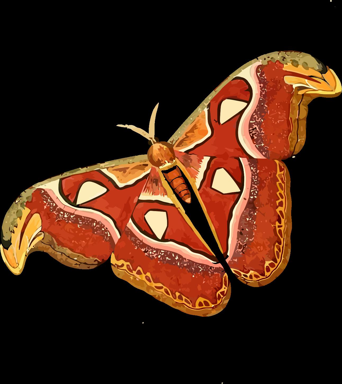 Atlas attacus big image. Moth clipart clip art