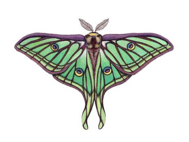Drawing free download best. Moth clipart luna moth