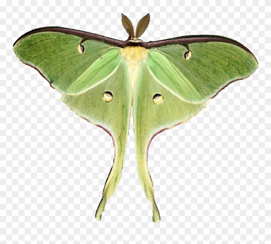 Moth clipart luna moth. Moon moths pinclipart