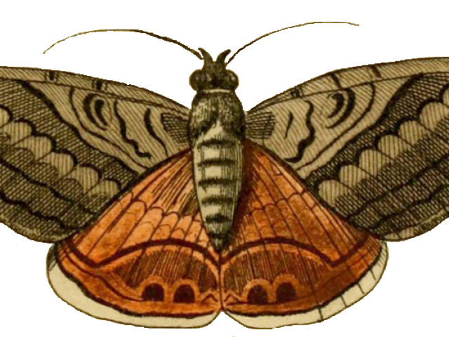 Free on dumielauxepices net. Moth clipart outline