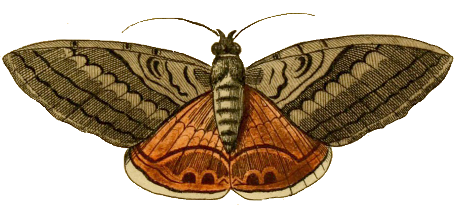 moth clipart transparent