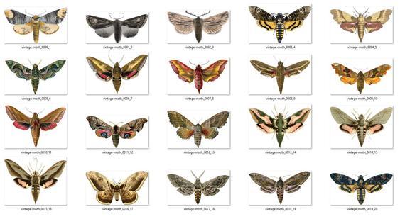 Moths antique clip art. Moth clipart vintage
