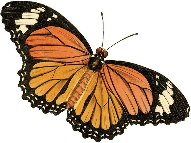 The clip art many. Moth clipart vintage butterfly