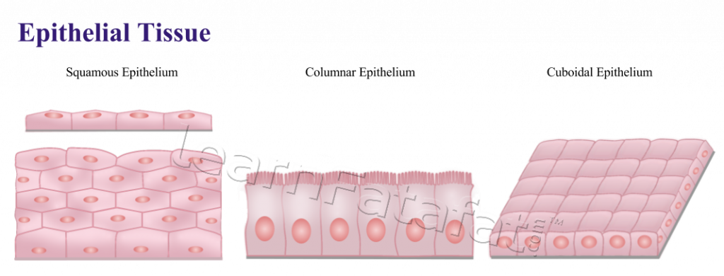 Animal and its functions. Skin clipart skin tissue