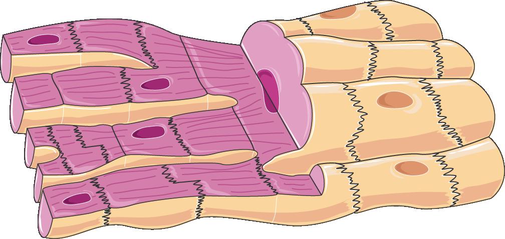 Muscle clipart heart muscle. Cardiac cells servier medical