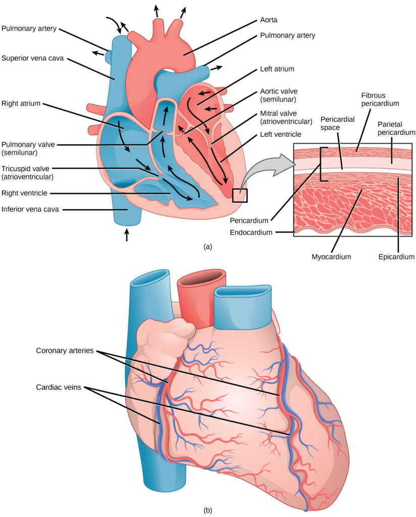 mammalian and blood. Muscle clipart heart muscle