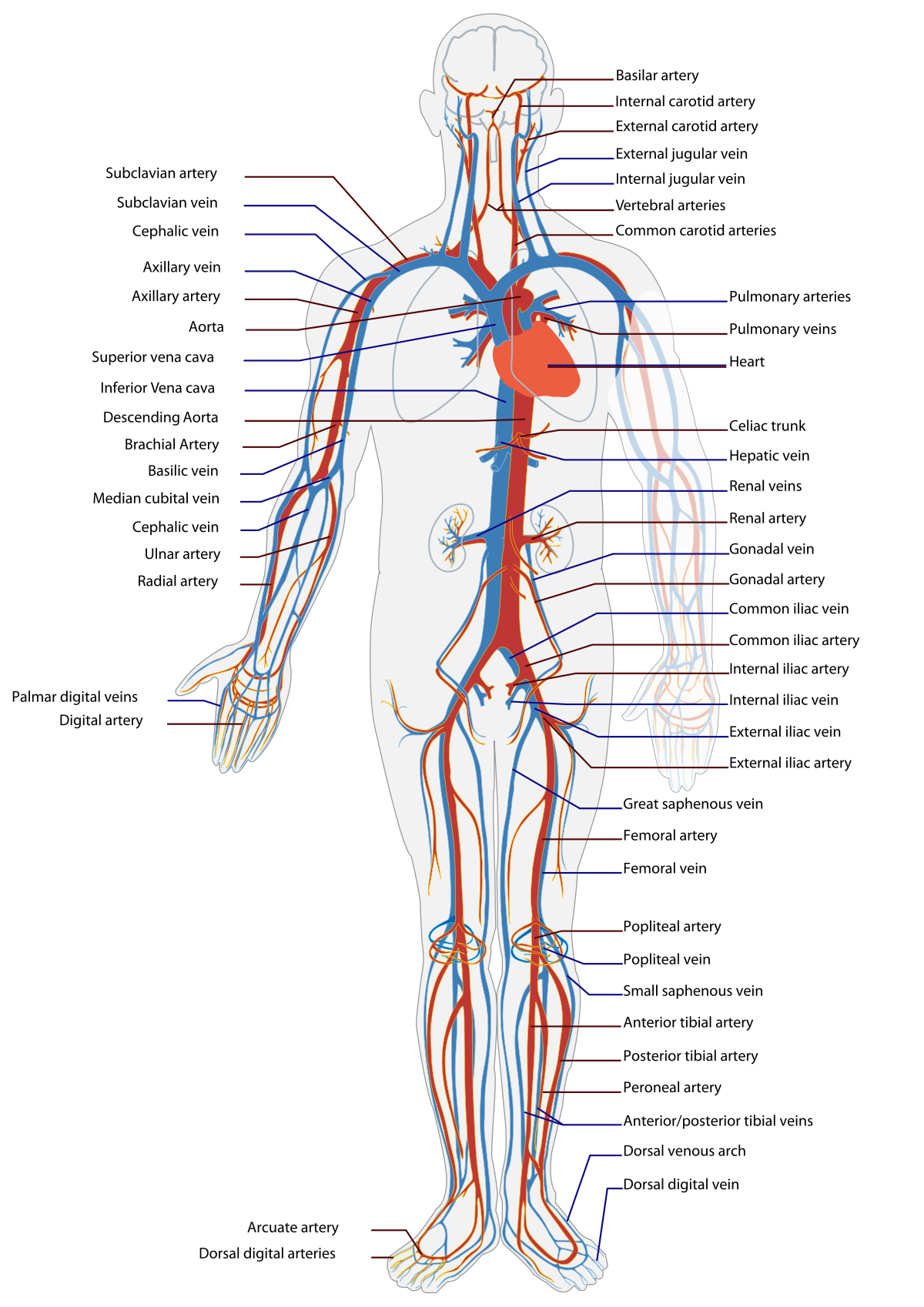 Amazing vascular system for. Skin clipart body trunk