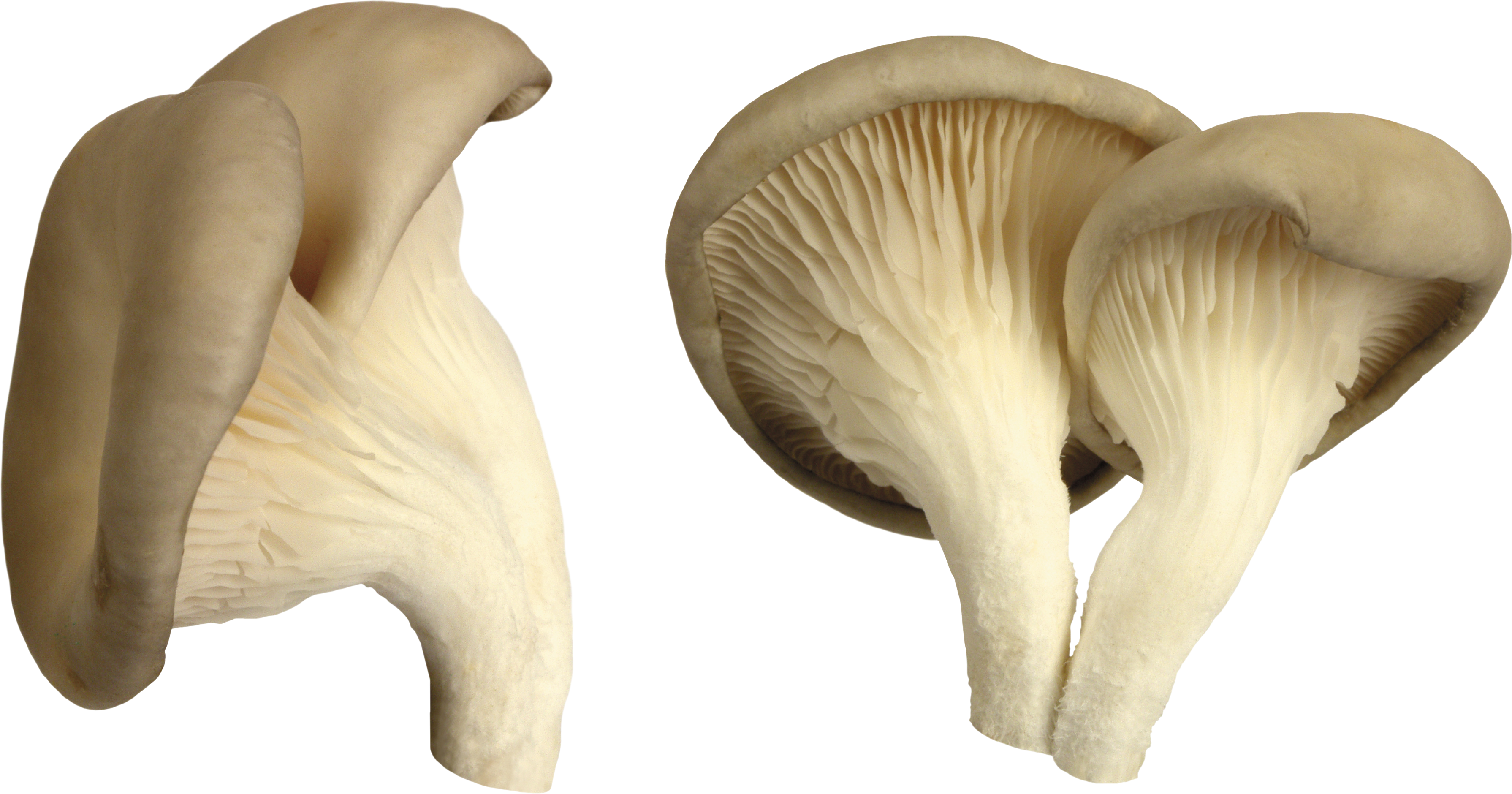 White png image purepng. Mushroom clipart oyster mushroom